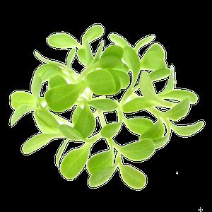 Endivespirer dyrket af oekologiske spirefroe fra FRISKE SPIRER