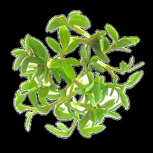 Karsespirer af oekologiske spirefroe fra FRISKE SPIRER