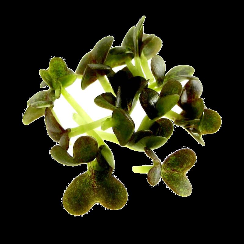Mizuna oekologiske spirefroe FRISKE SPIRER