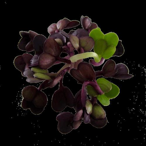 Violetradise oekologiske spirefroe spirer FRISKE SPIRER