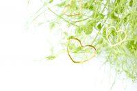 Oekologiske aerteskud FRISKE SPIRER