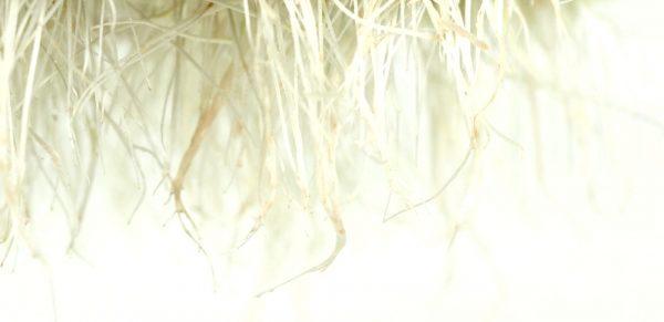 Mugne spirer med fine rodhaar FRISKE SPIRER